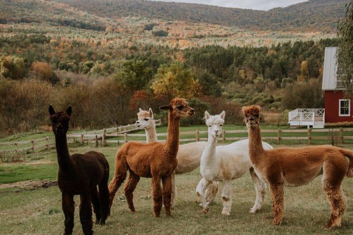 Alpacas at Vermont Hill Farm Inn