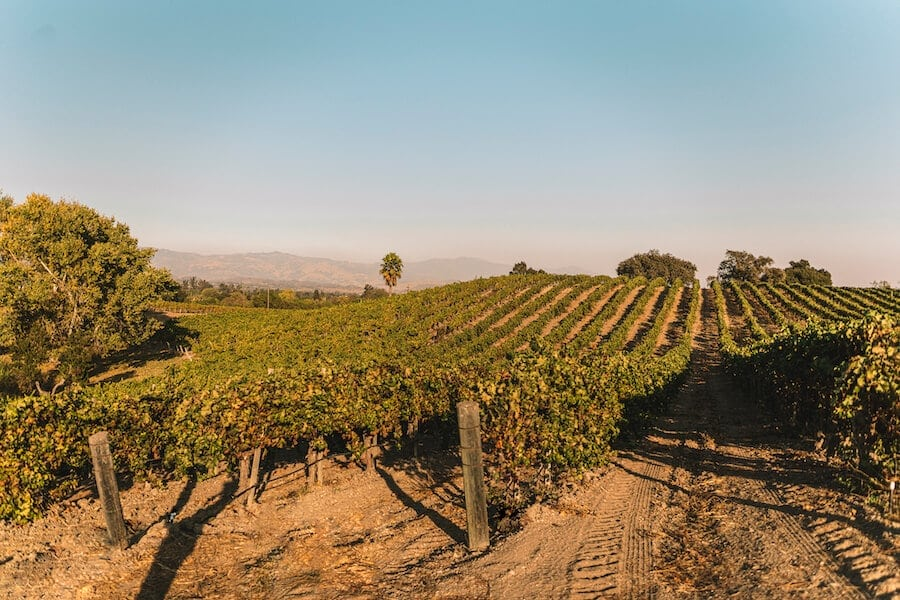 Rolling grape vines at the Buttonwood Vineyard in Santa Ynez Valley, one of the best wine regions in California