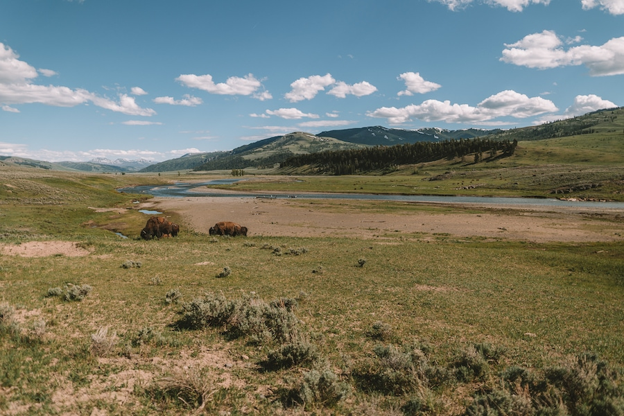Bison in Lamar Valley - Salt Lake City to Yellowstone Road Trip