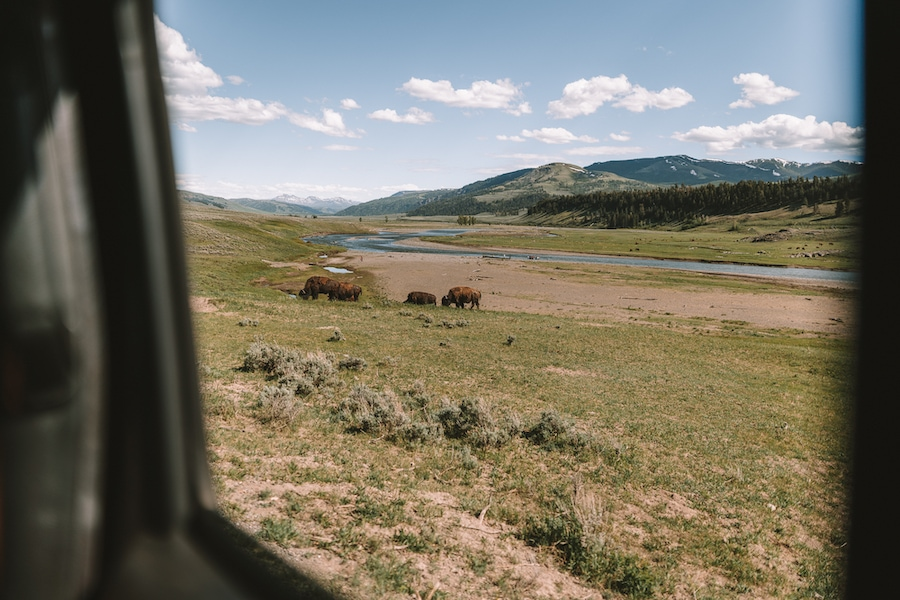 bison in the Lamar Valley, Yellowstone