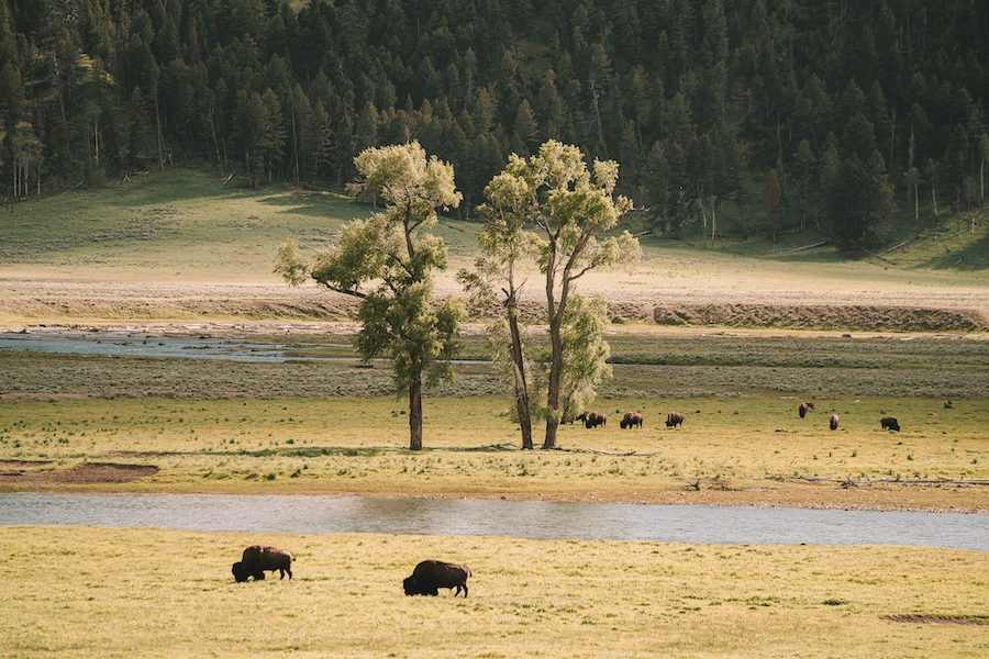Two bison roaming in yellowstone